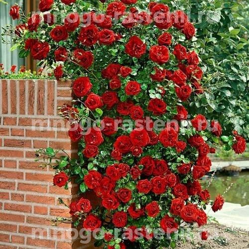 Роза Май Таур