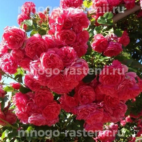 Роза Ореанда