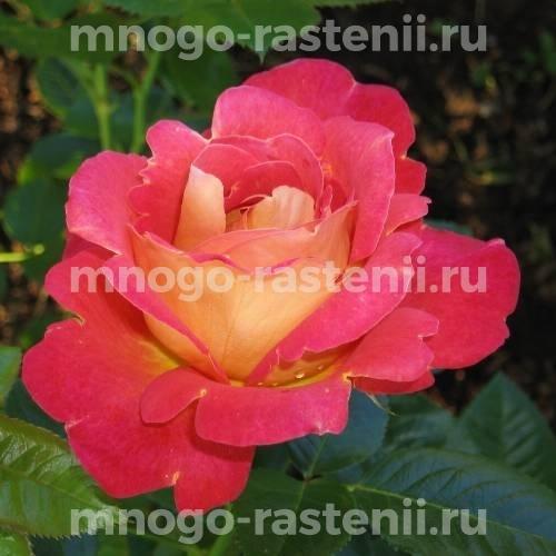 Роза Павлиний глаз