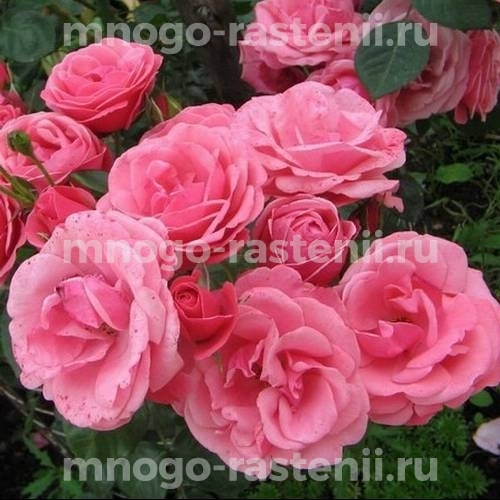 Роза Рамира