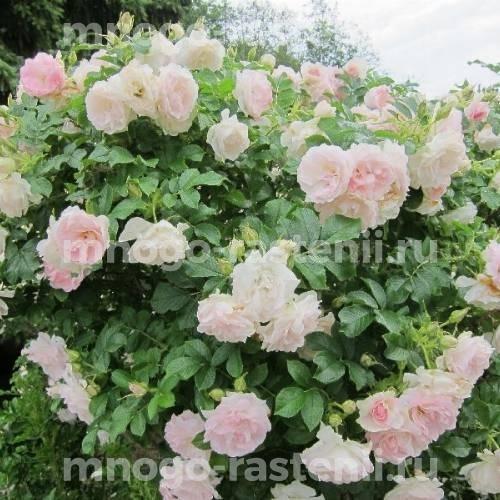 Роза Ритаусма