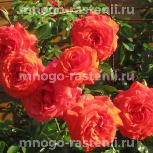 Роза Салита
