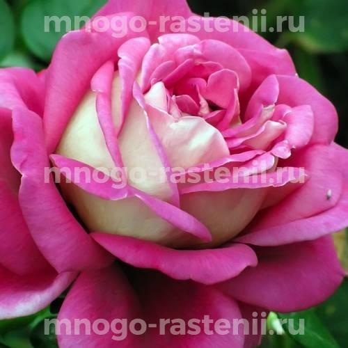 Роза Седая дама