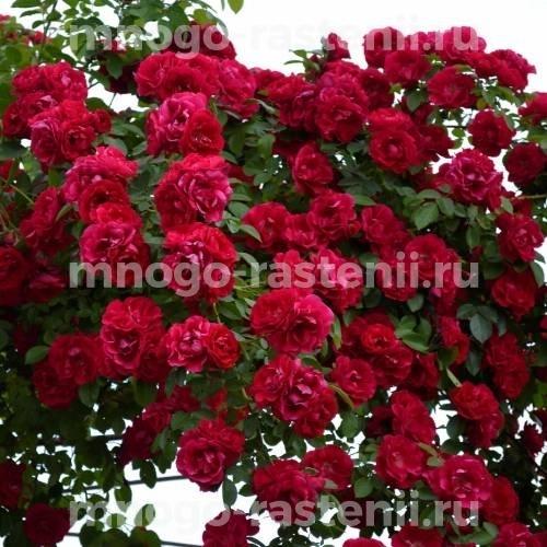 Роза Фламентанз