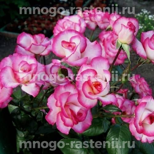 Роза Хендель