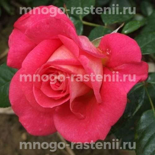 Роза Шогун