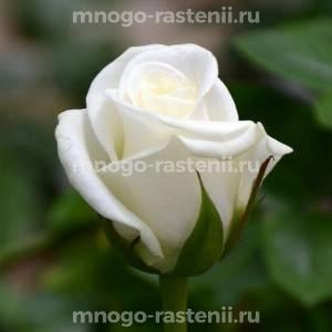 Роза Акито