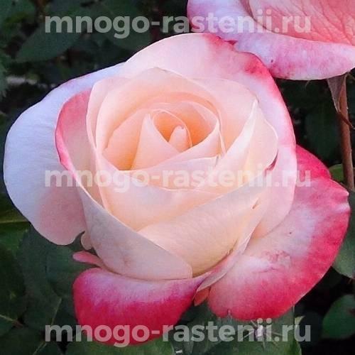 Роза Белла Перл