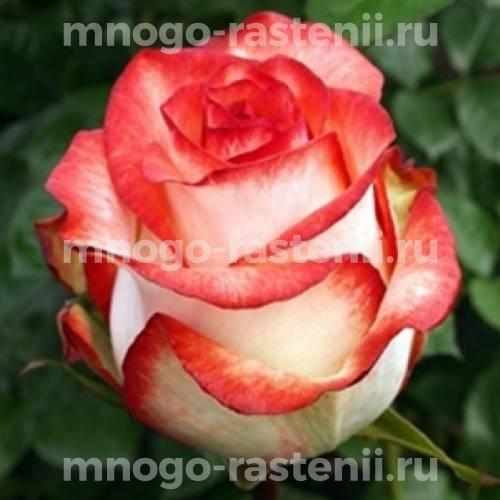 Роза Блаш