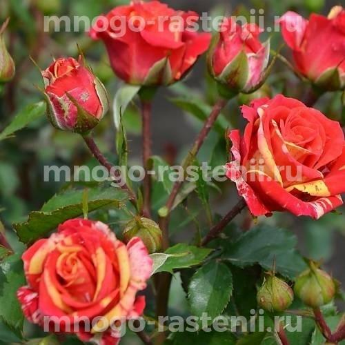 Роза Вспышка Огня