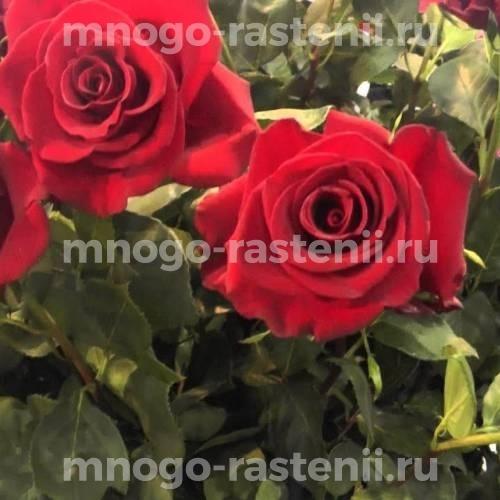 Роза Форевер Янг