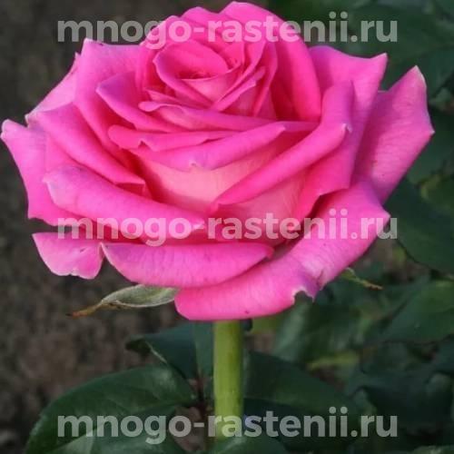 Роза Топаз