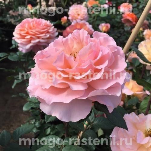 Роза Август Луиза