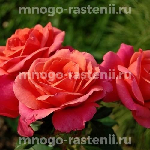 Роза Александр
