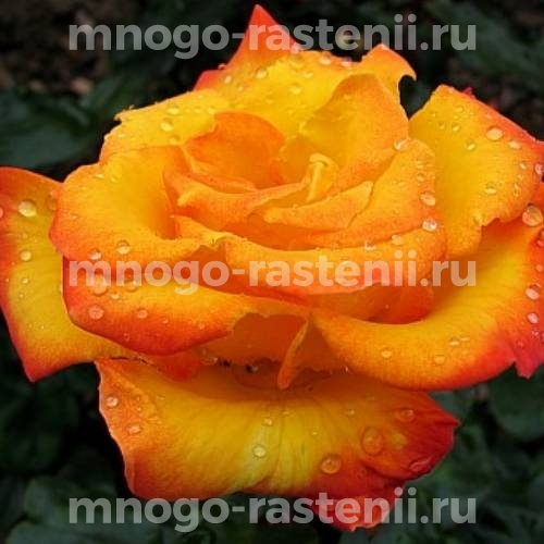 Роза Альмер Голд