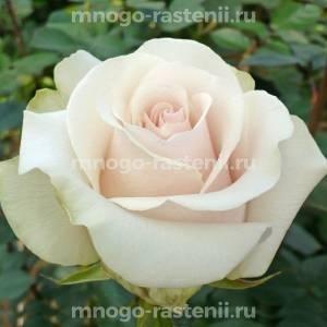 Роза Амелия