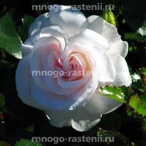Роза Аспирин Розе