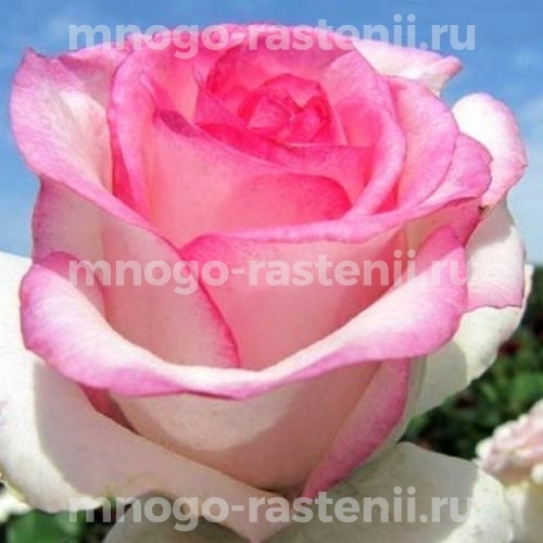Роза Аттракта
