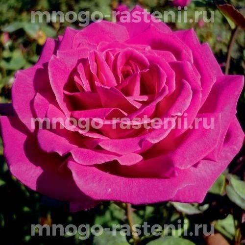 Роза Бабкина