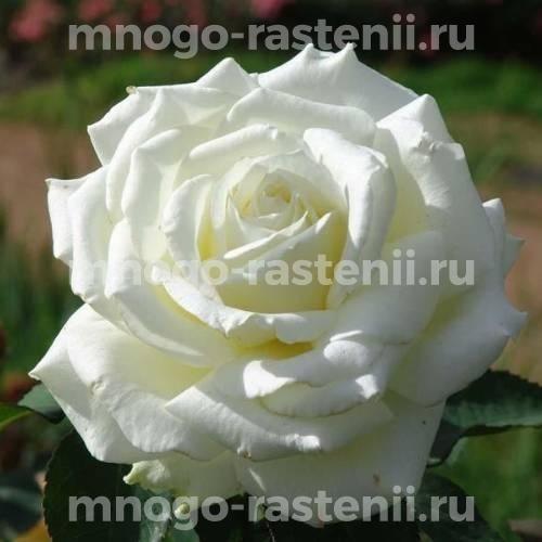 Роза Белая Лебедь