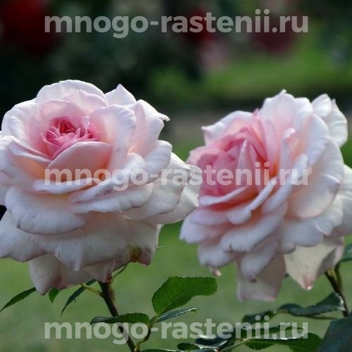 Роза Бремен Штадтмузикантен