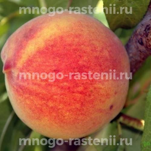 Саженцы персика Медового