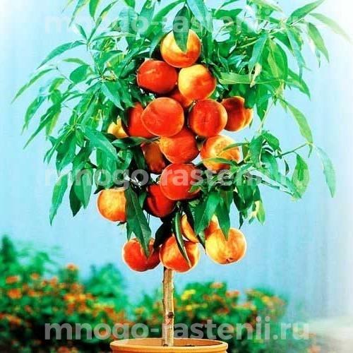 Персик колоновидный Золотой триумф