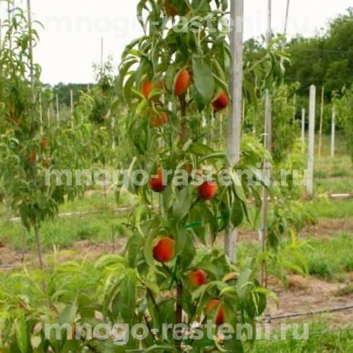 Персик колоновидный Сувенир
