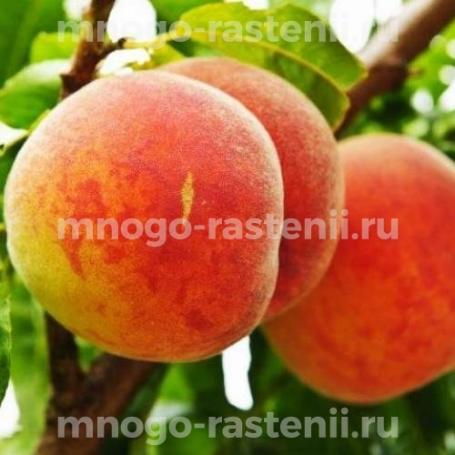Персик колоновидный Штайнберг