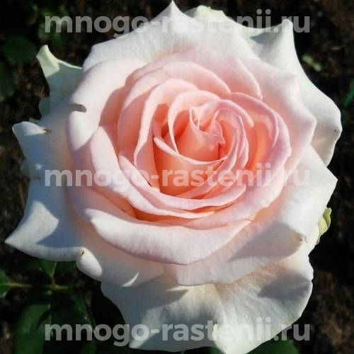 Роза Вивальди