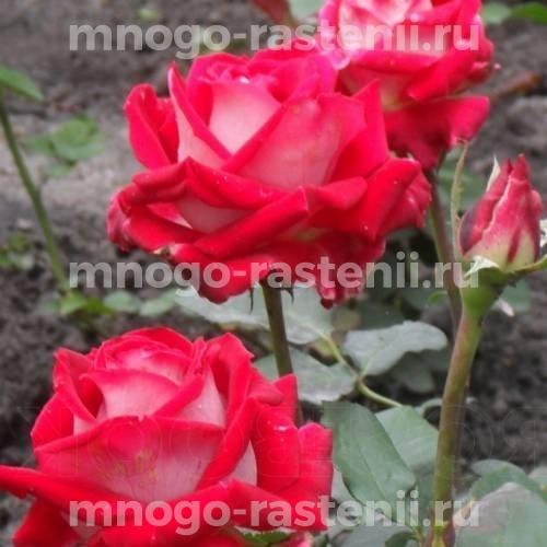 Роза Влюбель