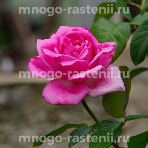 Роза Джакоранда
