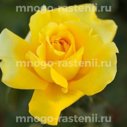 Роза Лоллобриджида