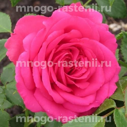 Роза Джиральдо