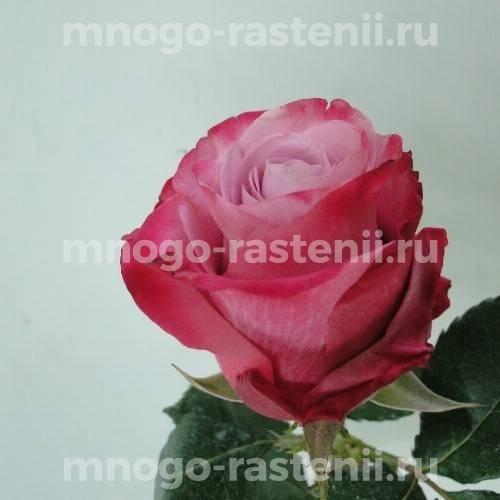 Роза Дип Вопер