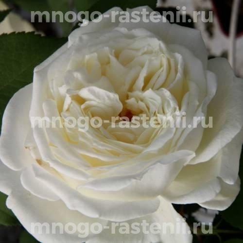Роза Жанна Моро