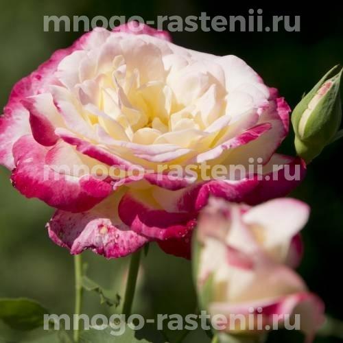 Роза Зебулон