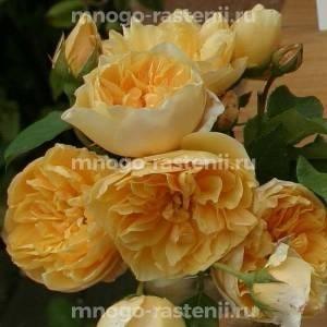 Роза Золотое Руно