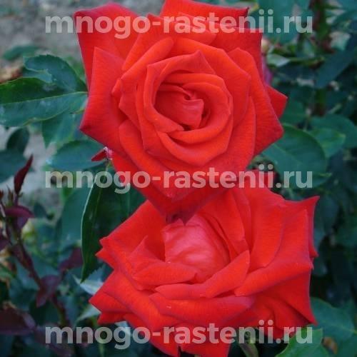 Роза Корас