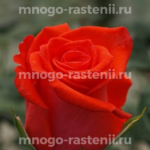 Роза Корветт