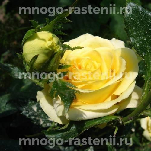 Роза Кронос