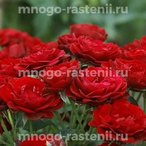 Роза Лаваглут