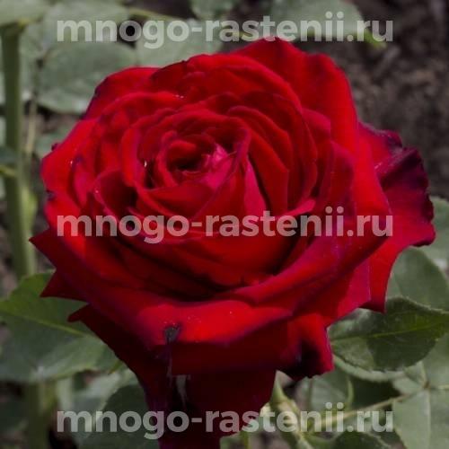Роза Лавли Ред