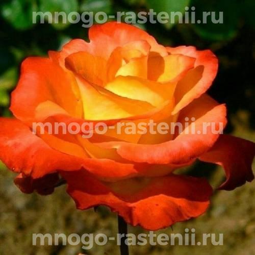 Роза Леонидас