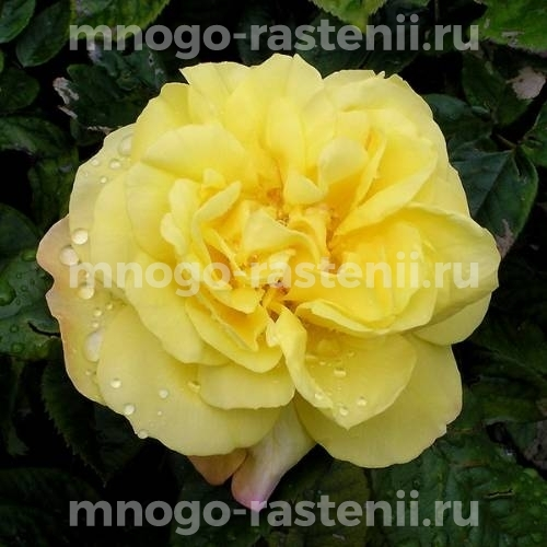 Роза Лихткёнигин Лючия