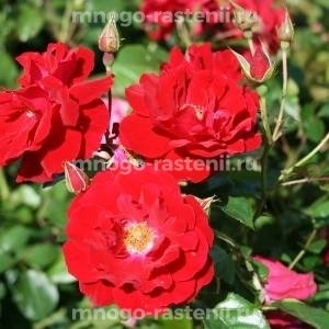 Роза Майнауфойер