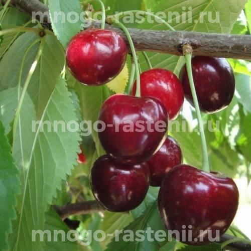 Чудо вишня (дюк) Ливана