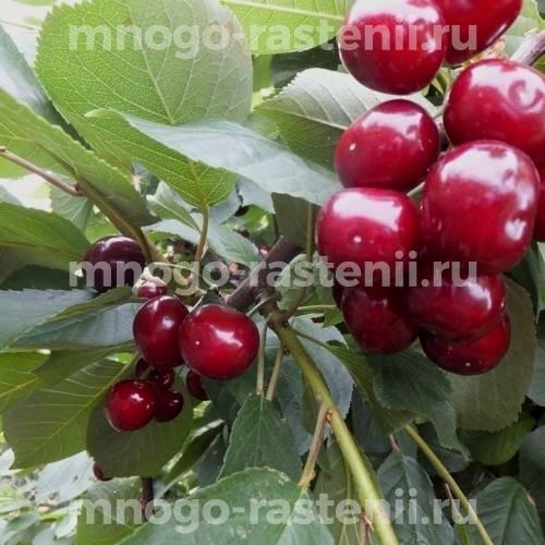 Чудо вишня (дюк) Саратовская Малышка