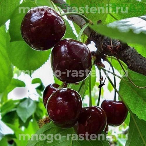 Чудо вишня (дюк) Чернокорка