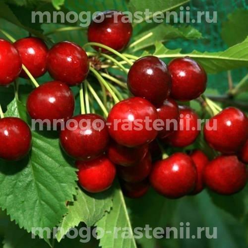 Чудо вишня (дюк) Харитоновская